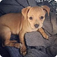 Adopt A Pet :: Anna - Scottsdale, AZ