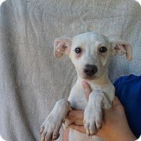 Adopt A Pet :: Alpha - Oviedo, FL