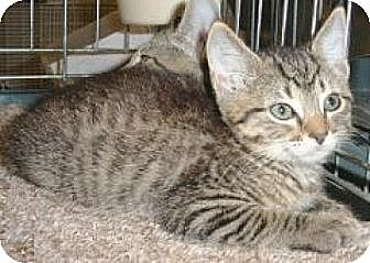Domestic Shorthair Cat for adoption in Miami, Florida - Hansel