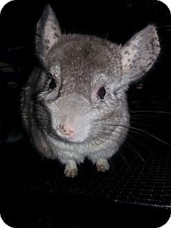 Chinchilla for adoption in Patchogue, New York - Dory