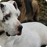 Adopt A Pet :: Daisy Dane - Green Cove Springs, FL