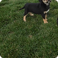 Adopt A Pet :: katniss - mooresville, IN