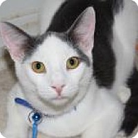 Domestic Shorthair Cat for adoption in Venice, Florida - Dobby