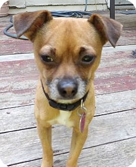 Chihuahua Mix Dog for adoption in Osseo, Minnesota - Chico