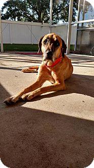 Labrador Retriever/German Shepherd Dog Mix Dog for adoption in Plant City, Florida - Simon