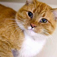 Domestic Mediumhair Cat for adoption in Pittsburgh, Pennsylvania - SPRINKLES
