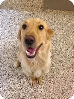 Golden Retriever Mix Dog for adoption in Aiken, South Carolina - Creek