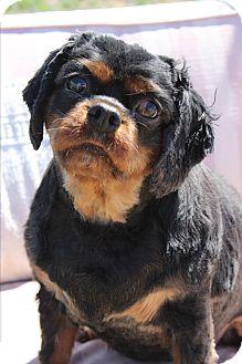 King Charles Spaniel Mix Dog for adoption in Wichita Falls, Texas - Eloise