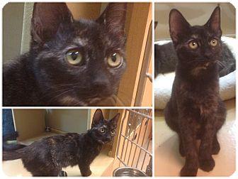 Domestic Shorthair Kitten for adoption in Modesto, California - Shelby
