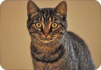 Domestic Shorthair Cat for adoption in Trevose, Pennsylvania - Cola