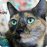 Domestic Shorthair Cat for adoption in Wichita Falls, Texas - Gemini
