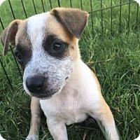 Adopt A Pet :: Butterscotch - Austin, TX