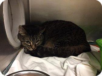 Domestic Shorthair Cat for adoption in Janesville, Wisconsin - Radagast