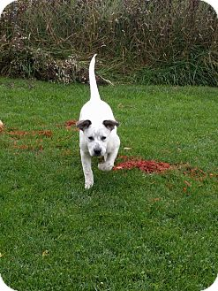 Cattle Dog/Boxer Mix Puppy for adoption in Caro, Michigan - Jackie