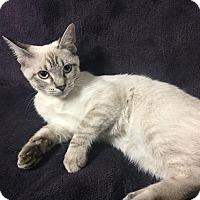 Adopt A Pet :: SnowBelle - Dallas, TX