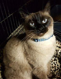Siamese Cat for adoption in Pasadena, California - Nellie