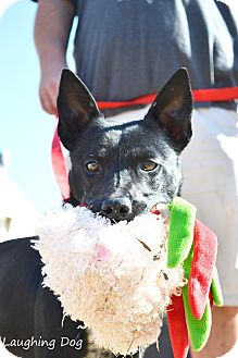 Australian Cattle Dog/Border Collie Mix Dog for adoption in Stillwater, Oklahoma - Leila