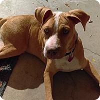 Adopt A Pet :: Gangus Khan - Manhattan, KS