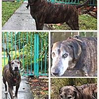 Adopt A Pet :: BIG BOY - hollywood, FL