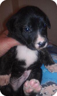 Labrador Retriever/German Shepherd Dog Mix Puppy for adoption in Scottsdale, Arizona - Justice