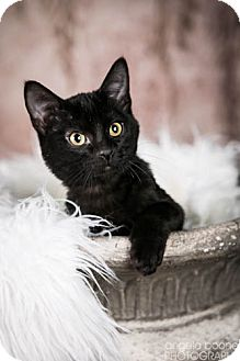 Domestic Shorthair Kitten for adoption in Eagan, Minnesota - Bud