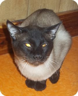 Siamese Cat for adoption in Witter, Arkansas - Sir lancelot Pure-bred Siamese