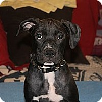 Adopt A Pet :: Colt - ARDEN, NC