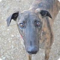 Adopt A Pet :: PK (Pain Killer) - Chagrin Falls, OH