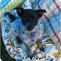 Adopt A Pet :: Sir Shamus - Phoenix, AZ
