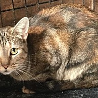 Domestic Shorthair Cat for adoption in Ocean Pines, Maryland - Morgan