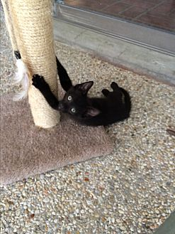 Domestic Shorthair Kitten for adoption in Waggaman, Louisiana - Slate