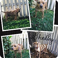 Adopt A Pet :: Shelby - Tampa, FL