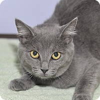 Adopt A Pet :: Tomfoolery - Medina, OH