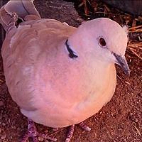 Adopt A Pet :: Stone - Elizabeth, CO