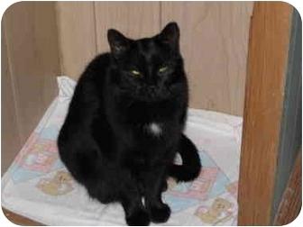Domestic Mediumhair Cat for adoption in North Boston, New York - Ashlee