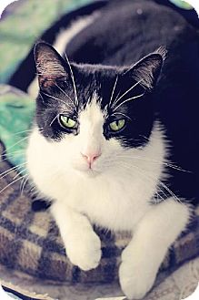 Domestic Shorthair Cat for adoption in Markham, Ontario - Jinx