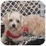 Photo 3 - Yorkie, Yorkshire Terrier/Maltese Mix Puppy for adoption in West Palm Beach, Florida - Bradley