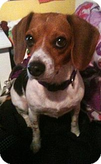 Beagle Mix Dog for adoption in Chicago, Illinois - PRINCESS