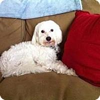 Adopt A Pet :: Bouncer (MS) - Gilford, NH