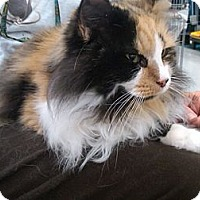 Adopt A Pet :: Phoebe (front declaw) - Sterling Hgts, MI