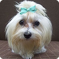 Adopt A Pet :: Turquoise bow - CAPE CORAL, FL