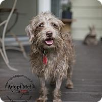Adopt A Pet :: Brownie Bon Bon - Houston, TX