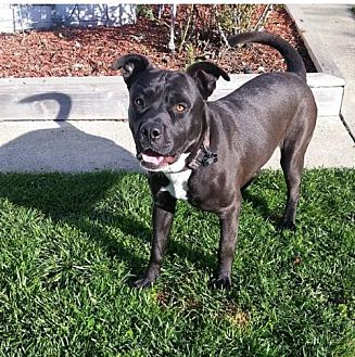 Labrador Retriever Mix Dog for adoption in Mission Viejo, California - Dale