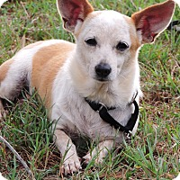 Chihuahua Mix Dog for adoption in Anderson, South Carolina - Charlie