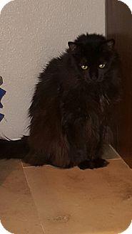 Domestic Longhair Cat for adoption in Glendale, Arizona - Marla