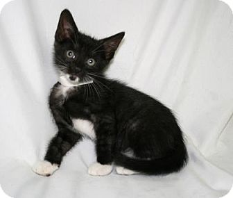 Domestic Shorthair Kitten for adoption in Bradenton, Florida - Pinot Noir