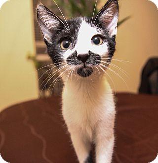 Domestic Shorthair Kitten for adoption in Charlotte, North Carolina - A..  Stash