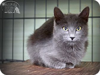 Russian Blue Cat for adoption in Marlinton, West Virginia - Gloria--RESCUED!