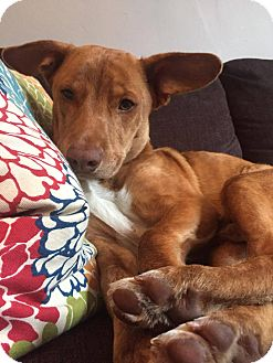 Hound (Unknown Type) Mix Dog for adoption in Jersey City, New Jersey - Leslie Odom, Jr.