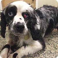 Adopt A Pet :: Iris - Oak Ridge, NJ